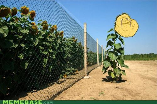 fence,forever alone,plants,sunflower