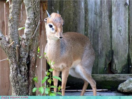 Squee Spree: Dainty Little Dik-dik