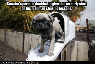 chasing,early,head start,lessons,mailbox,mailman,pug,puppy,start