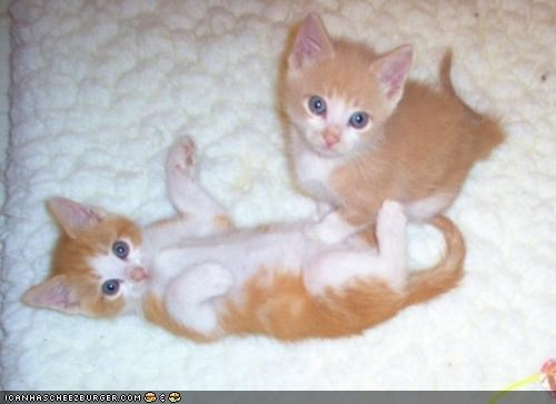 cyoot kitteh of teh day,doctor,playing,touching,twins,two cats