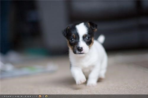 carpet,cyoot puppeh ob teh day,jack russel,puppy,run,terrier