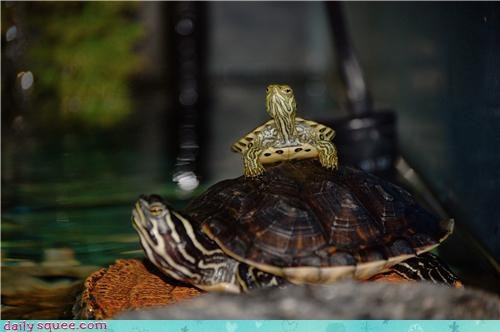 curious,pyramid,reader squees,size,standing,start,turtle,turtles