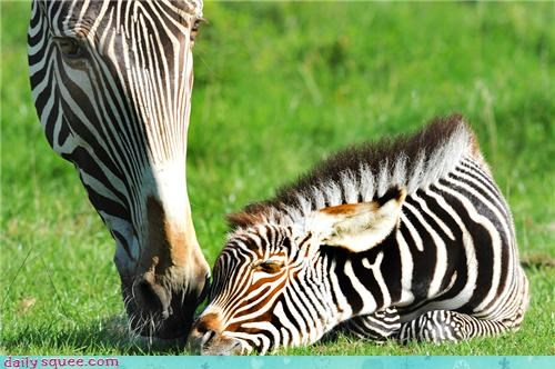 afternoon,baby,good,good afternoon,KISS,mother,nap,squee spree,tucked in,zebra,zebras