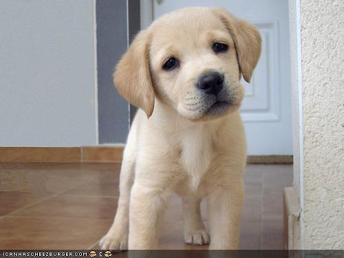 curious,cyoot puppeh ob teh day,golden retriever,hallway,puppy,tile floor