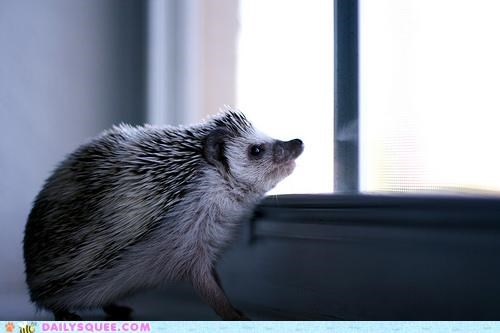 baby,better,choices,daylight,greeting,hedgehog,Staring,sunlight,unsure,window