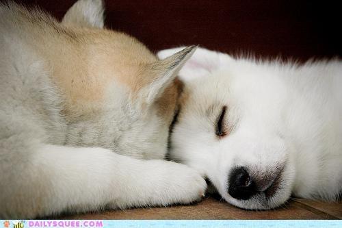 Babies,baby,cuddling,huskies,husky,mixed breed,peer pressure,Pillow,puppies,puppy,sleeping