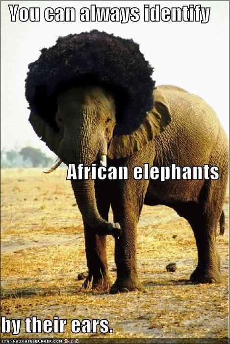 You can always identify African elephants by their ears.