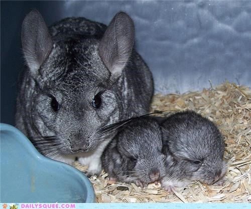 Squee Spree: Chinchillas Vs. Sugar Gliders