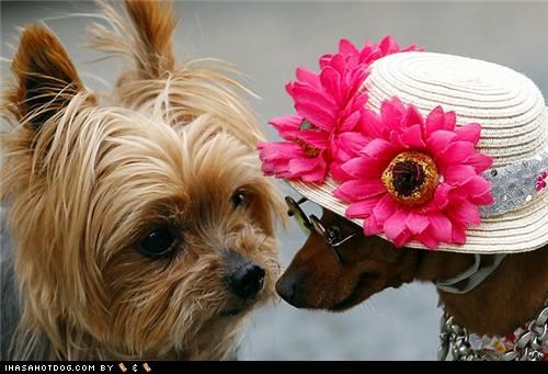 costume,dachshund,dress up,flowers,glasses,hat,yorkie