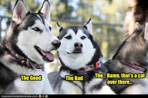 bad,cat,distracted,easily,good,huskies,husky,over there