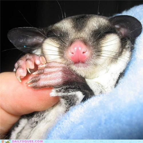 asleep,baby,dreaming,dreams,nap time,sleeping,squee spree,sugar glider,sweet dreams