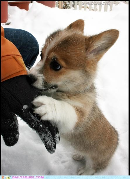 Corgi Puppy Eyes. You Cannot Resist.