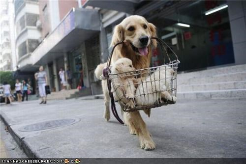 basket,carry,cyoot puppeh ob teh day,golden retriever,puppies,ride