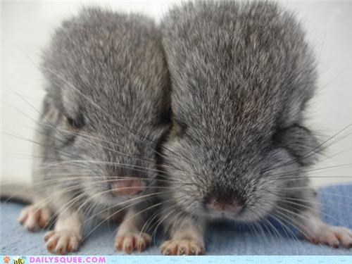 Squee Spree: Chinchillas Vs. Platypus