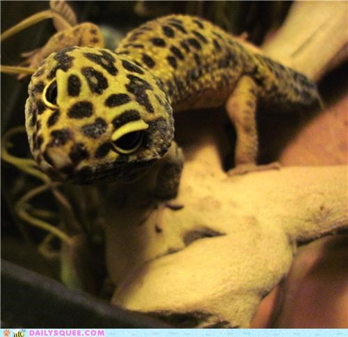 answer,cute,definitive,gecko,question,reader squees,reptile,smile,smiling