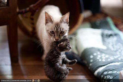 baby,carry,cyoot kitteh of teh day,family,mom,scruff of the neck