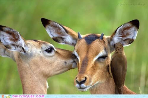 acting like animals,bird,ear,gossip,gossiping,impala,impalas,whispering