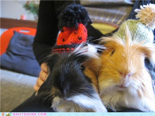 adorable,brothers,guinea pig,guinea pigs,hat,posing,reader squees,siblings,sitting,still,well behaved