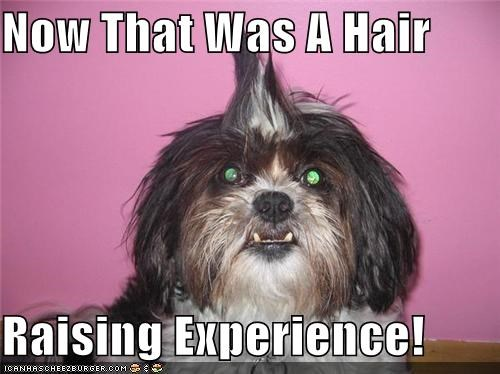 experience,hair,hair raising,hairdo,maltese,pun,raising