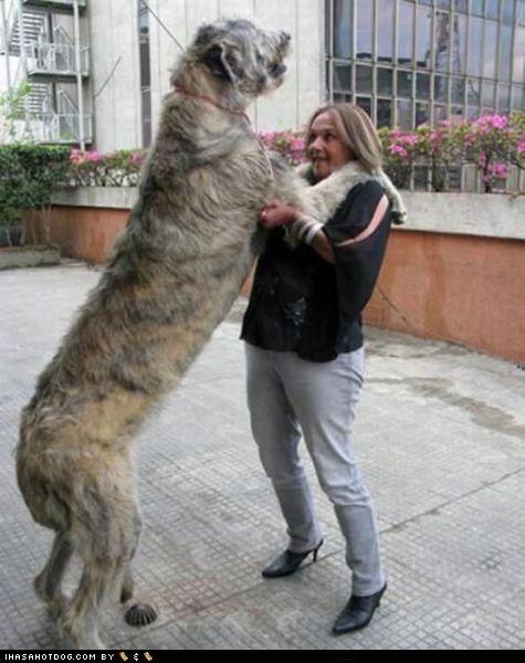 big,brindle,dance,irish wolfhound,patio,person,tall