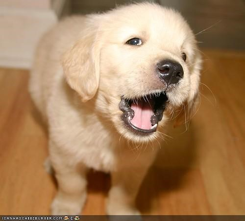 cyoot puppeh ob teh day,golden,golden retriever,howl,lab,puppy,sing,song