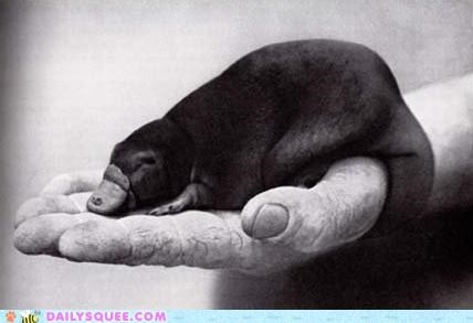 Squee Spree: Itty Bitty Maybe Fake Platypus?