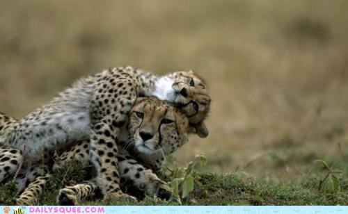 cheetah,cheetahs,cub,difference,exhausting,growing up,insignificant,mother,rough,roughhousing,size