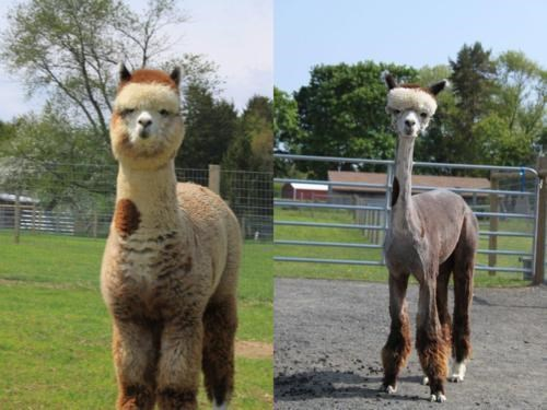 Before And After Alpaca of the Day