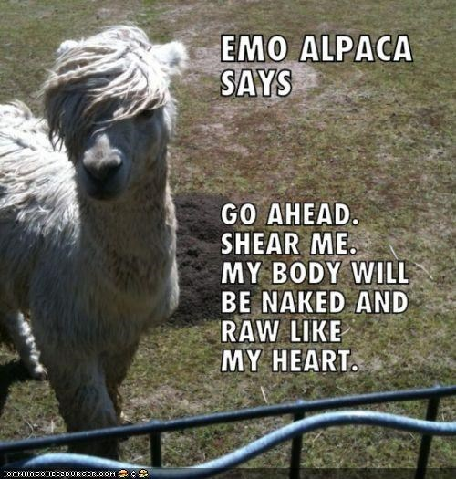 alpaca,best of the week,caption,captioned,dramatic,emo,haircut,I Can Has Cheezburger,shut up