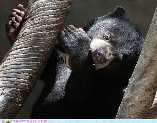 Squee Spree: Sun Bears Vs. Pandas