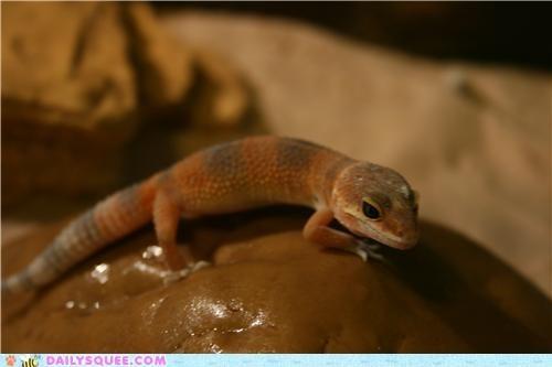 baby,basking,boulder,gecko,juvenile,leopard gecko,maneki neko,reader squees,rhyme