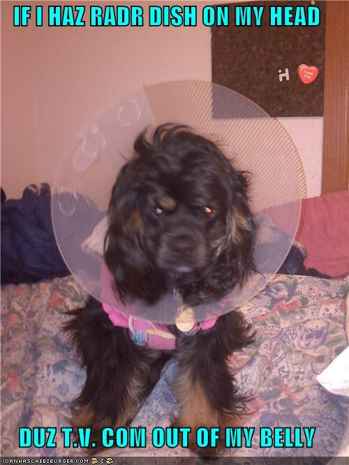 belly,cocker spaniel,cone of shame,confused,dish,head,question,radar,stomach,television,TV