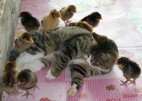 Kitteh Becomes Surrogate Mother to 30 Newborn Chicks