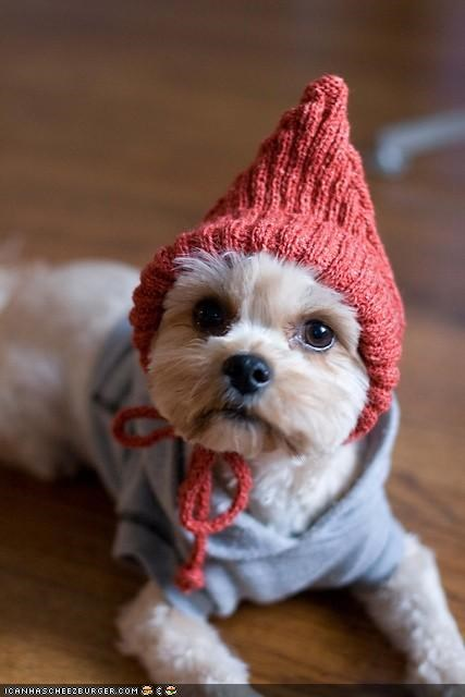 cone,cyoot puppeh ob teh day,had,Knitted,puppy,red,shirt,terrier,whatbreed,yorkie