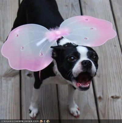 boston terrier,costume,cyoot puppeh ob teh day,do not want,fairy,mad,puppy,wings