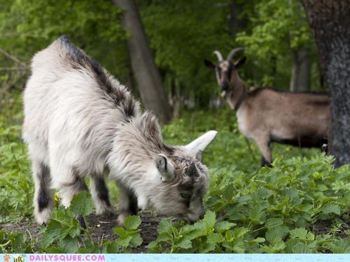 advice,baby,calf,eating,goat,goats,graze,grazing,lesson,noms,serene
