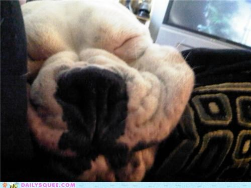 adorable,asleep,boxer,dogs,face,napping,reader squees,sleeping,smooshed,stretch