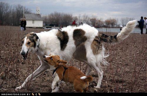 borzoi,corgi,dirt,field,goggie ob teh week,harness,play,puppy,sticks