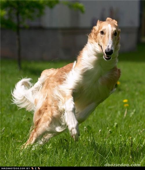 Goggie ob teh Week: Borzoi Has a Mean Lean