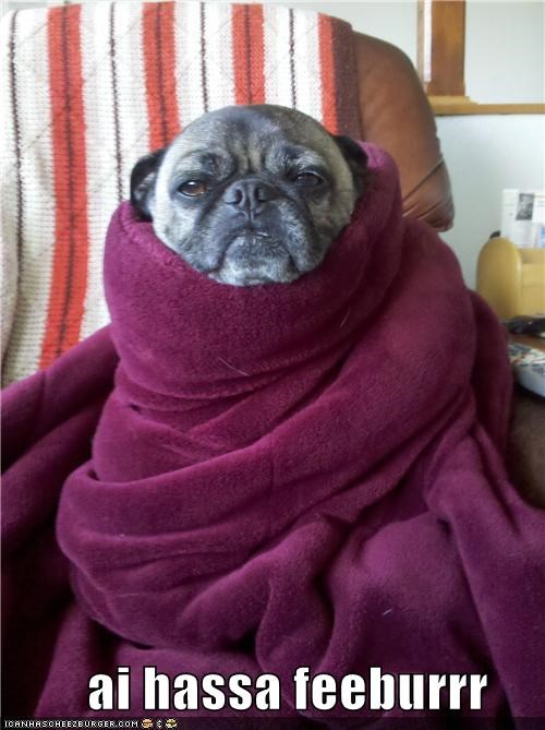 best of the week,blanket,fever,Hall of Fame,i has,pug,sick,wrapped up