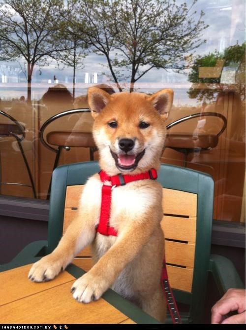 cyoot puppeh ob teh day,harness,outsiee,puppy,shiba inu,table