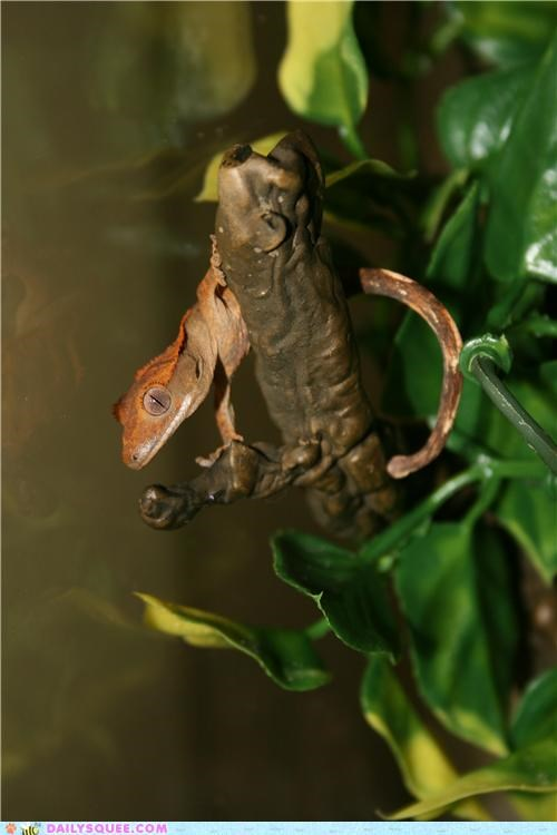 crested gecko,dance,gecko,gecko hop,hop,phenomenon,reader squees,trend