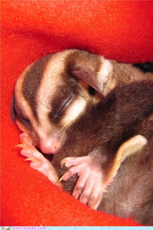 absolutely,adorable,baby,bonding,reader squees,squee-worthy,sugar glider,worthy