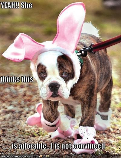 adorable,bulldog,bunny,bunny ears,convinced,costume,do not want,dressed up,embarrassed,human,not,owner,she,thinks,yeah