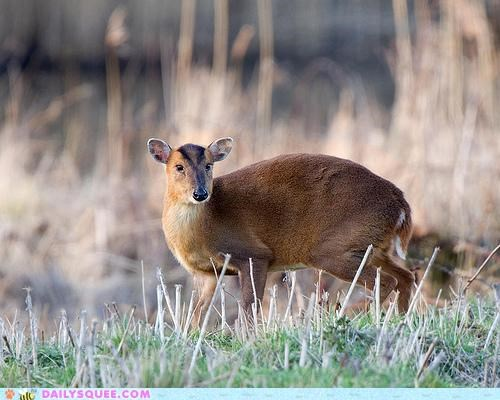Whatsit Wednesday: Just Slip Out the Back, Muntjac!