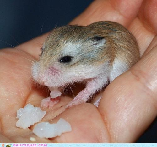 adorable,baby,dwarf hamster,hamster,idea,lure,luring,plan,sugar,sweet tooth,tiny
