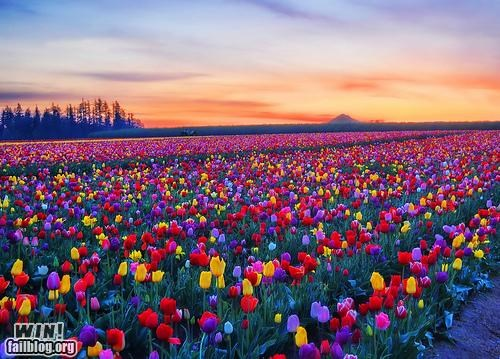 colours,fields,flowers,rainbows,seasons,spring has sprung,tulips