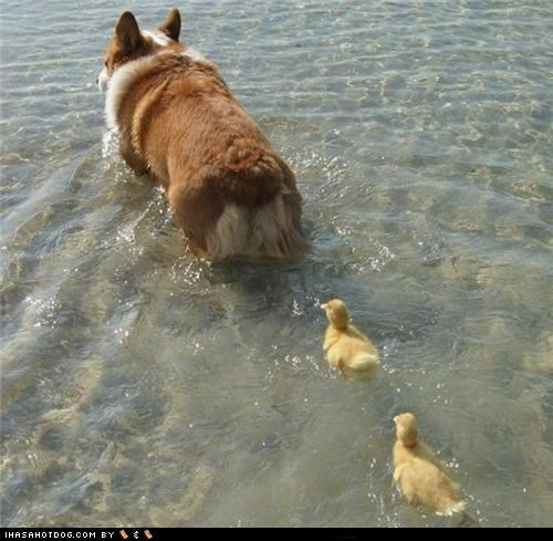 Corgi is Duckie Mommy!