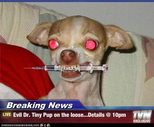 Breaking News - Evil Dr. Tiny Pup on the loose...Details @ 10pm
