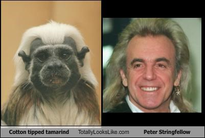 Cotton Topped Tamarin Totally Looks Like Peter Stringfellow